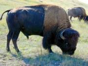 Črede bizonov so izginile tako v Evropi kot v Ameriki