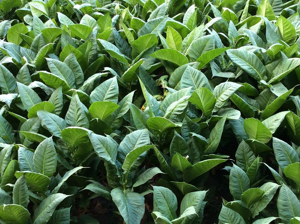 tobacco-1652069_960_720