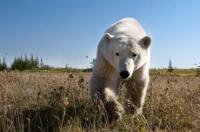 Polarni medvedi se v Kanadi namesto po snegu podijo po travnatih zelenicah