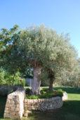 Sicilija olje drevo 2