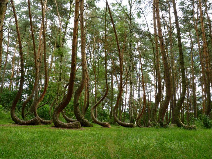 krummer-wald-polen-gryfino-crooked-forest